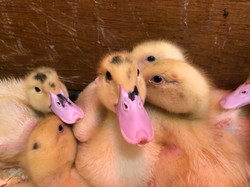 moulard ducklings