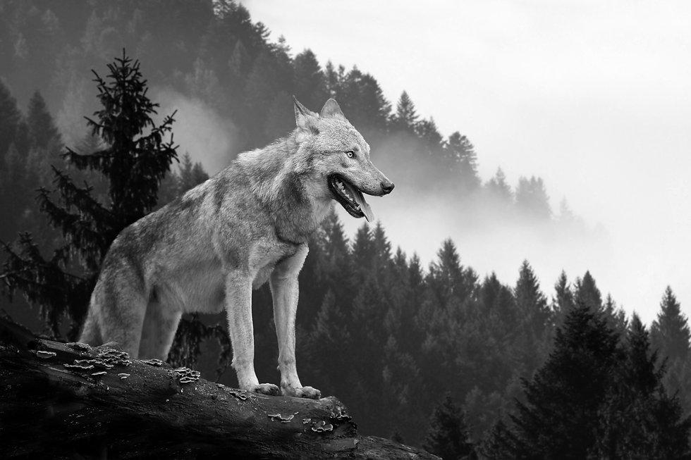 wolf-hunting-in-mountain-PSFC3EM.jpg