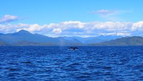 Westkanada – Wal, Wald und Wein