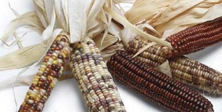 Ornamental Corn (Indian)