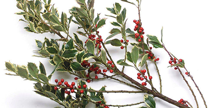 Ornamental Holly Boughs (Variegated)