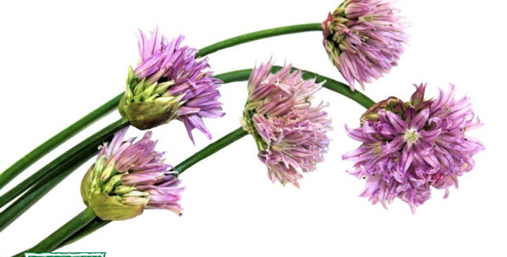 Edible Flowers (Chive Blossom)