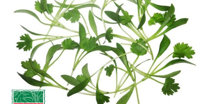 Microgreens (Cilantro)