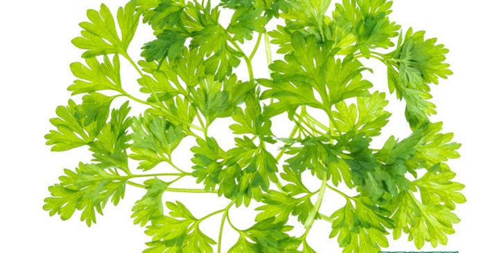 Microgreens (Chervil)