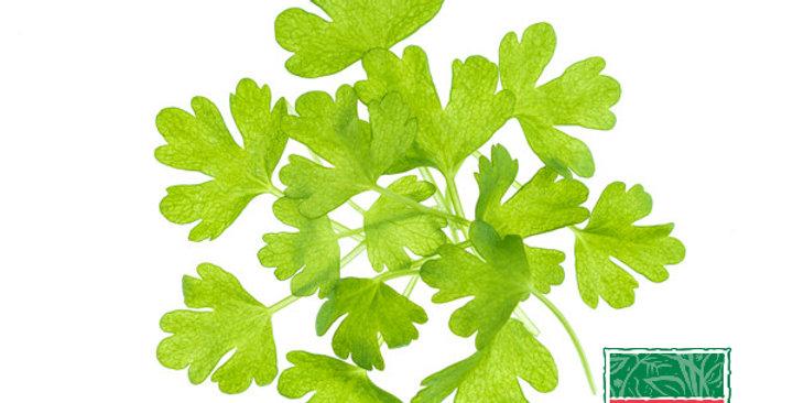 Microgreens (Celery)