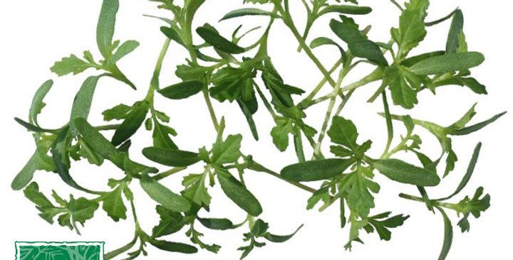 Microgreens (Tangerine Lace™)