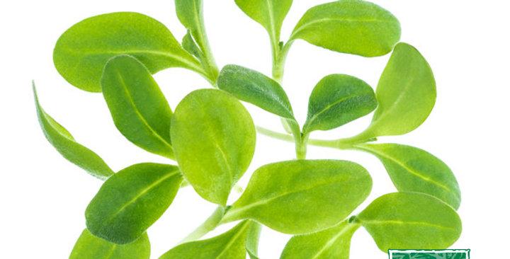 Microgreens (Borage)