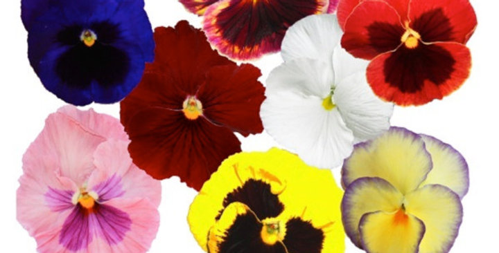 Edible Flowers (Pansy)