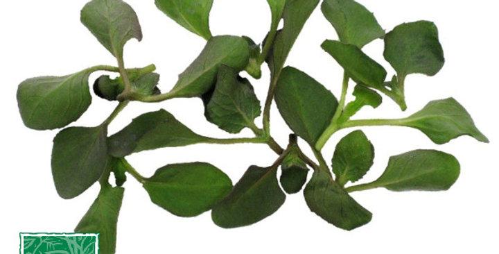 Microgreens (Buzz Leaf™)