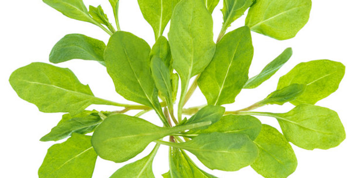 Microgreens (Epazote)