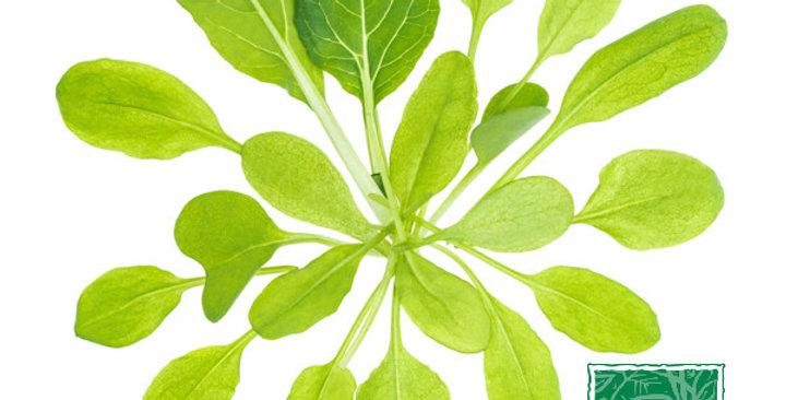Microgreens (Sorrel)