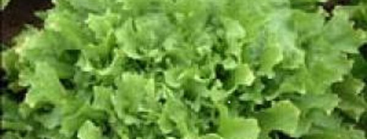 Lettuce (Escarole)