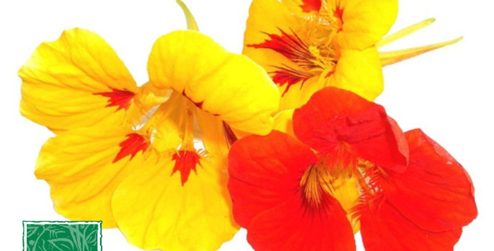 Edible Flowers (Nasturtium)