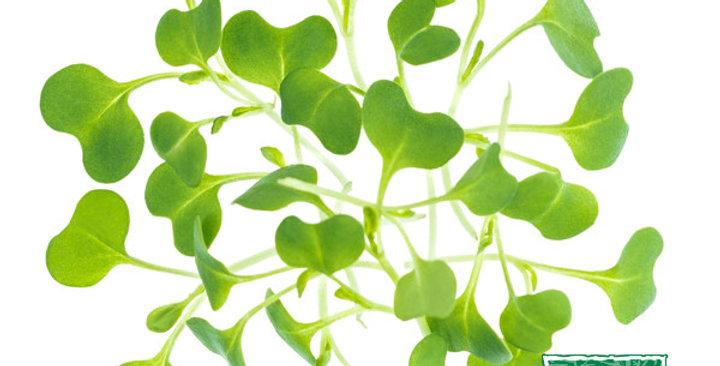 Microgreens (Tatsoi)