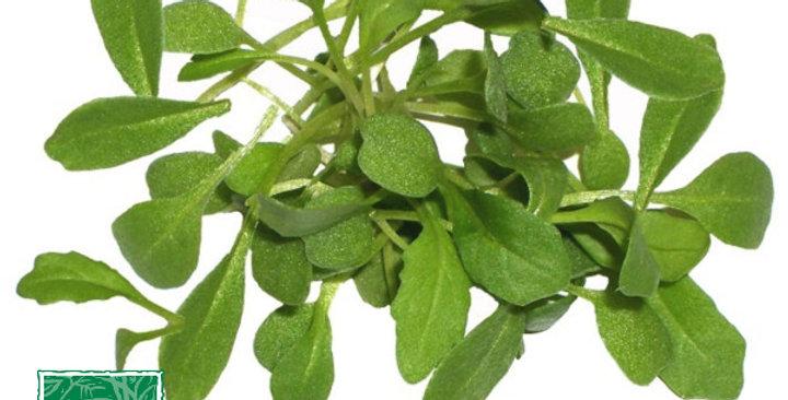 Microgreens (Arugula, Sylvetta™)