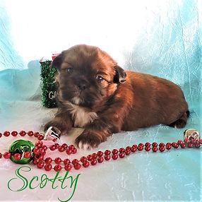 Scotty ~ M ~ Shihtzu