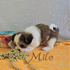 Milo-4.jpg-5.jpg