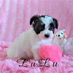 LuLu ~ F ~ Morkie