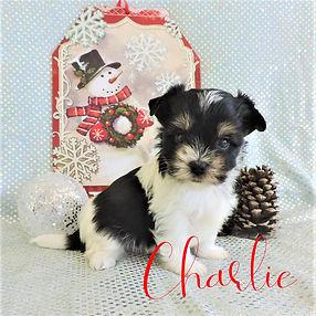 Charlie ~ M ~ Biewer Yorkie
