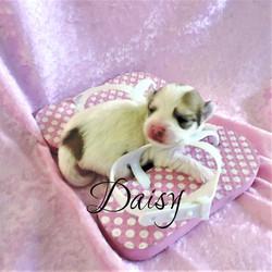 Daisy Renamed Kenya ~ F ~ Biro Yorkie