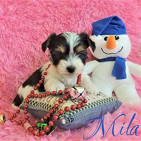 Mila ~ F ~ Biewer Yorkie