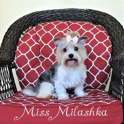 Miss Milashka ~ F ~ Biewer Yorkie