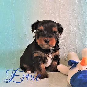 Ernie ~ M ~ Biewer Yorkie Carrier