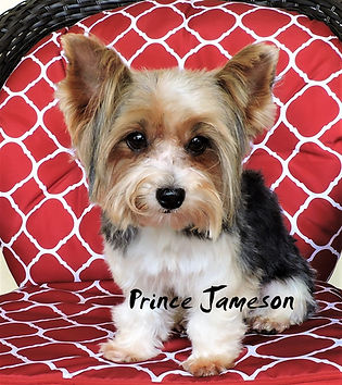 Prince Jameson ~ Biewer Yorkie