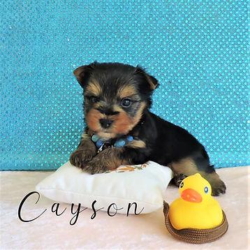 Cayson ~ M ~ Biewer Yorkie