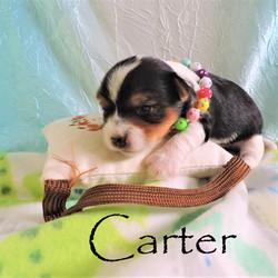 Carter ~ M ~ Biewer Yorkie