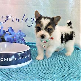Finley ~ M ~ Biewer Yorkie