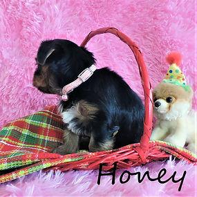 Honey ~ F ~ Biewer Yorkie Carrier