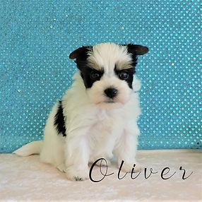 Oliver ~ M ~ Biewer Yorkie