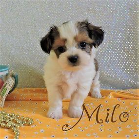 Milo-5.jpg-2.jpg