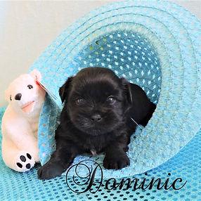 Dominic ~ M ~ Shorkie