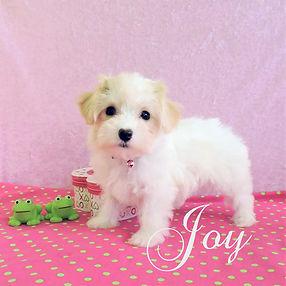 Joy ~ F ~ Maltipoo