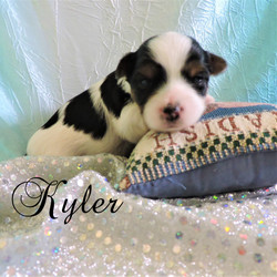 Kyler ~ M ~ Biewer Yorkie