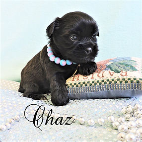 Chaz ~ M ~ Shorkie