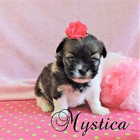 Mystica ~ F ! Shorkie