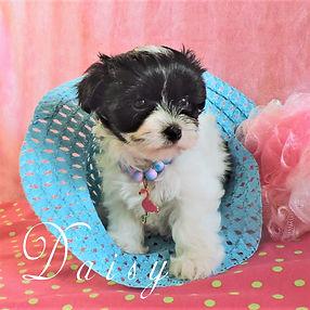 Daisy ~ F ~ Morkie