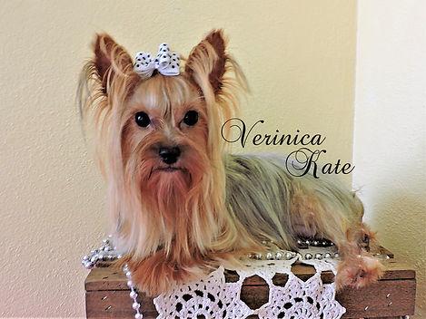 Verinica Kate ~ Parti Yorkie ~ 4 1/2 lbs
