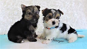 Cole and Sawyer ~ M ~ Biewer Yorki