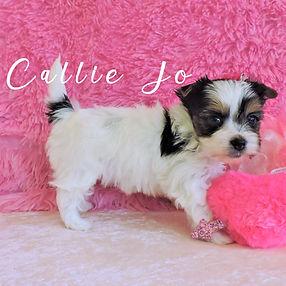 Callie-Jo ~ F ~ Biewer Yorkie