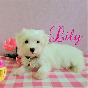 Lily ~ F ~ Maltipoo