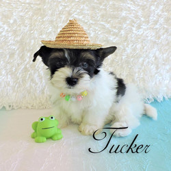 Tucker ~ M ~ Biewer Yorkie