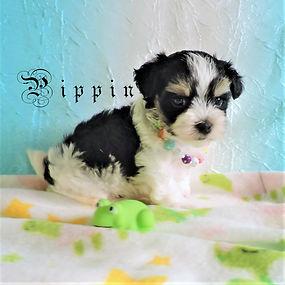 Pippin10.jpg-7.jpg