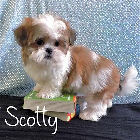 Scotty Boy ~ M ~ Malshi
