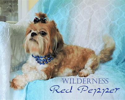 Wilderness-Red-Pepper Shihtzu_