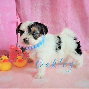 Oakley ~ F ~ Biewer Yorkie