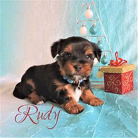 Rudy ~ M ~ Biewer Yorkie Carrier